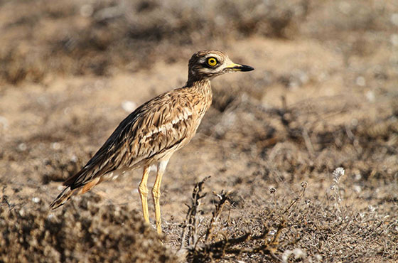 Endangered Birds in More Danger Courtesy of Saudi Royal Hunt